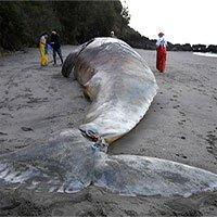 Hàng loạt xác cá voi xám dạt vào bờ biển California