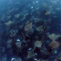 Hàng nghìn cá đuối quỷ tụ tập dưới mặt biển