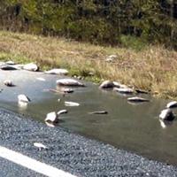 Hàng nghìn con cá phủ khắp đường cao tốc Mỹ sau bão Florence
