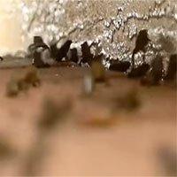 Hàng nghìn con cóc độc tấn công khu dân cư ở Mỹ
