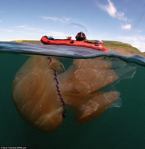 Hàng nghìn con sứa khổng lồ tiến vào bờ biển nước Anh