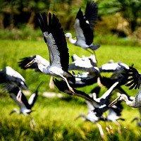 Hàng trăm con chim lạ xuất hiện ở Lào Cai