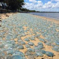 Hàng trăm nghìn sứa xanh mắc cạn ở Australia