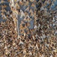 Hàng triệu bướm đêm bủa vây ngôi làng ở Australia