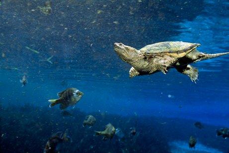 Hàng triệu con rùa Mỹ được tiêu thụ tại Trung Quốc mỗi năm