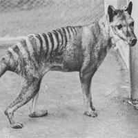 Hé lộ thông tin chưa từng được biết đến ở hổ Tasmania