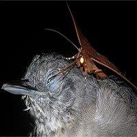 Hiện tượng kinh ngạc: Bướm đêm uống trộm nước mắt khi chim ngủ say giấc