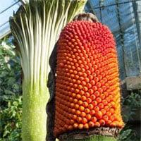 Hình ảnh cực hiếm khi hoa xác thối khổng lồ ra quả