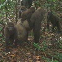 Hình ảnh loài khỉ đột hiếm có nhất thế giới địu con trên lưng
