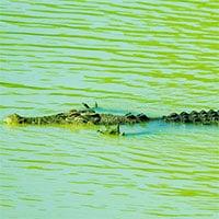 Hình ảnh ngộ nghĩnh: Cá sấu