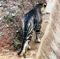 Hổ đen quý hiếm bất ngờ xuất hiện ở Ấn Độ