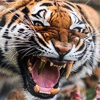 Hổ được trồng răng nanh bằng vàng