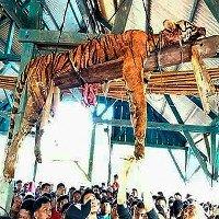 Hổ quý bị dân làng Indonesia mổ bụng treo lên xà nhà