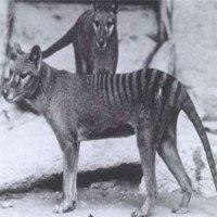 Hổ Tasmania sắp được