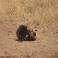 Hổ và gấu bất phân thắng bại trong trận chiến sinh tử