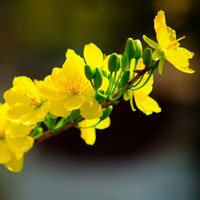 Hoa mai vô cùng rực rỡ và đặc sắc đón tết