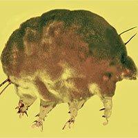 Hóa thạch lợn khuôn trong hổ phách 30 triệu năm