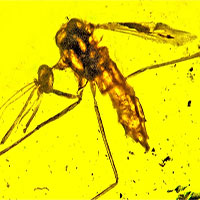Hóa thạch muỗi truyền bệnh sốt rét trong hổ phách 100 triệu năm