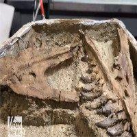 Hóa thạch nghi là khủng long bạo chúa con ở Mỹ