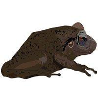 Hóa thạch tiết lộ loài ếch cổ xưa nhất vùng Caribbe