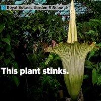 Hoa xác thối sắp nở ở vườn hoàng gia Anh