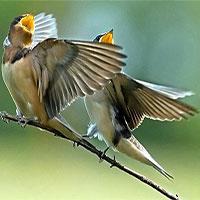 Hỏi dễ, khó trả lời: Tại sao chim hót?
