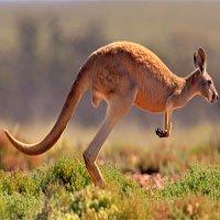 Hỏi dễ mà khó trả lời: Tại sao kangaroo mẹ lại nuôi con trong túi?