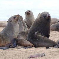 Hơn 7.000 con hải cẩu chết bí ẩn trên bờ biển Namibia
