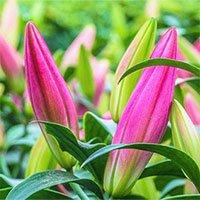 Hướng dẫn cách chọn hoa ly chơi Tết nhiều lộc lá đầu năm