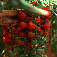 Hướng dẫn cách trồng và chăm sóc cà chua bi cho ra quả quanh năm