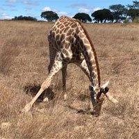 Hươu cao cổ gặm cỏ thế nào? Hóa ra giới 'chân dài, cổ dài' gặm cỏ không hề đơn giản
