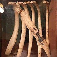 Hươu sống sót nhiều năm với mũi tên xuyên xương sườn