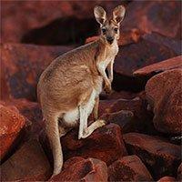 Kangaroo có thể học cách giao tiếp với con người