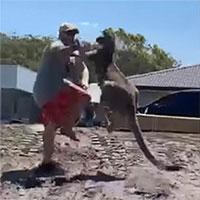 Kangaroo mò vào nhà tấn công gia chủ