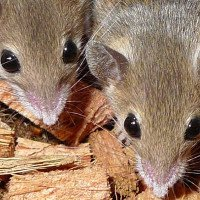 Kế hoạch diệt chuột triệu đô của New Zealand