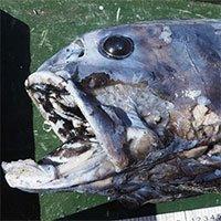 Kẻ săn mồi miệng đầy răng ở đáy vịnh sâu nhất Nhật Bản