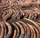 Kenya tịch thu hai tấn ngà voi