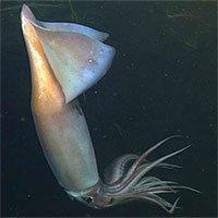 Khả năng giúp mực giao tiếp trong vùng biển tối