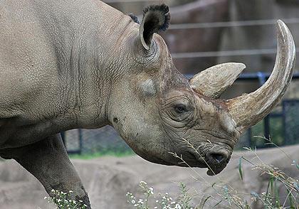 Khám phá bên trong sừng tê giác