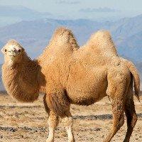 Khám phá bí ẩn về chiếc bướu của loài lạc đà