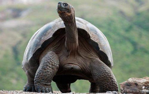 Khám phá những điều chưa biết về loài rùa cạn lớn nhất thế giới