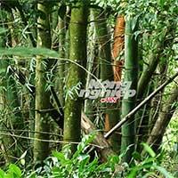 Khám phá rừng tre khổng lồ trên đỉnh Ngók Cung