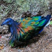 Khám phá về loài bồ câu kỳ lạ bậc nhất thế giới