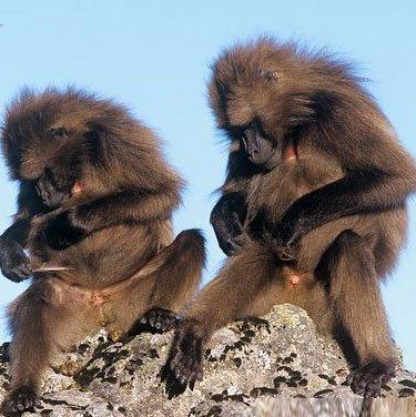 Khỉ chó cũng biết tự tránh thai