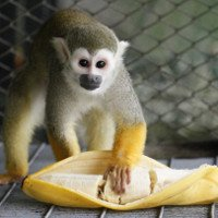 Khỉ có hay ăn chuối không?
