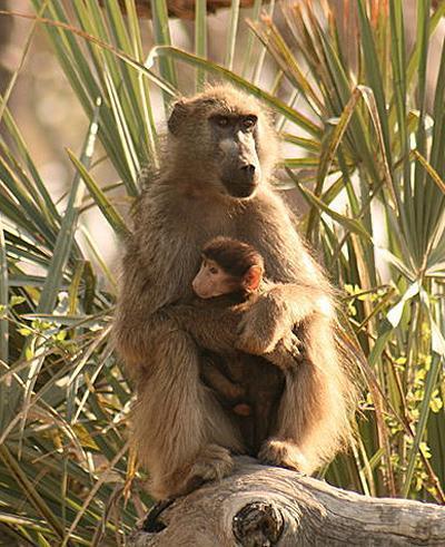 Khỉ đầu chó được lợi từ các quan hệ xã hội