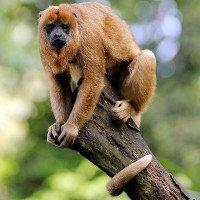 Khỉ là nguyên nhân khiến người đi rừng bị sốt rét