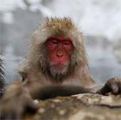 Khỉ ở gần nhà máy Fukushima có thể bị nhiễm xạ