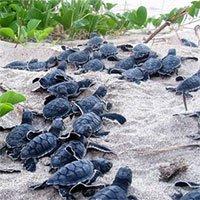 Khoa học chế trứng rùa giả để triệt phá một trong những loại tội phạm phổ biến và nguy hiểm nhất với thế giới động vật