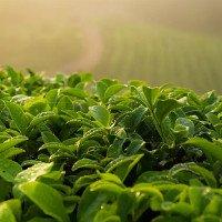 Khoa học chứng minh: Trà xanh giúp giảm nguy cơ mắc bệnh tim mạch